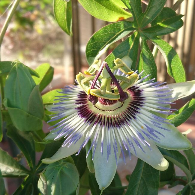 Passion Flower Phone Photography Close-up Macro Sony Xperia Z5 Nature Flower Beuty Of Nature SPAIN