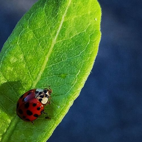 Ladybug Check This Out Taking Photos Beauty In Nature Beautiful ILoveThis Pretty Like Pokadots Red Ladybugs