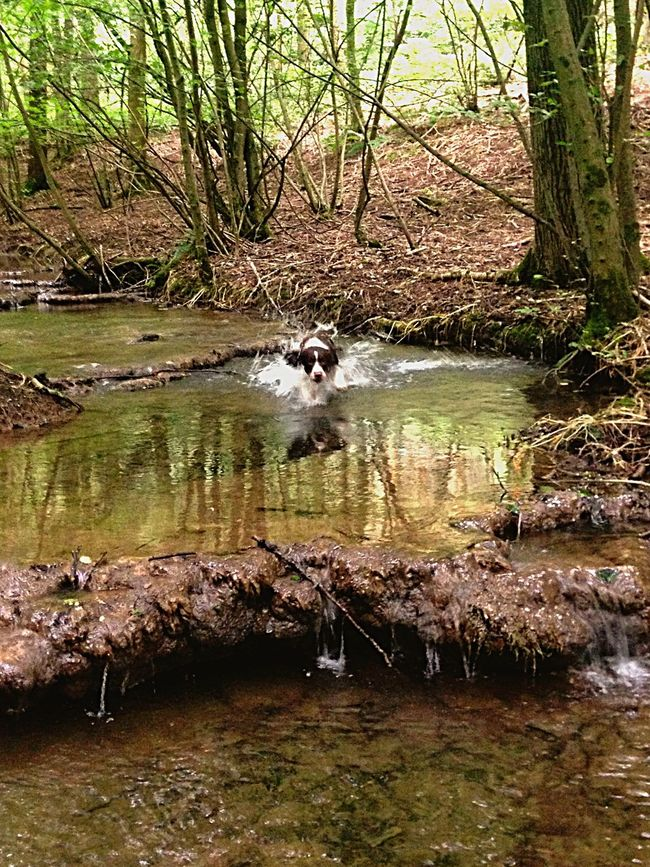 Springer Spaniel Loving Life  Action Shot  Summer Dogs