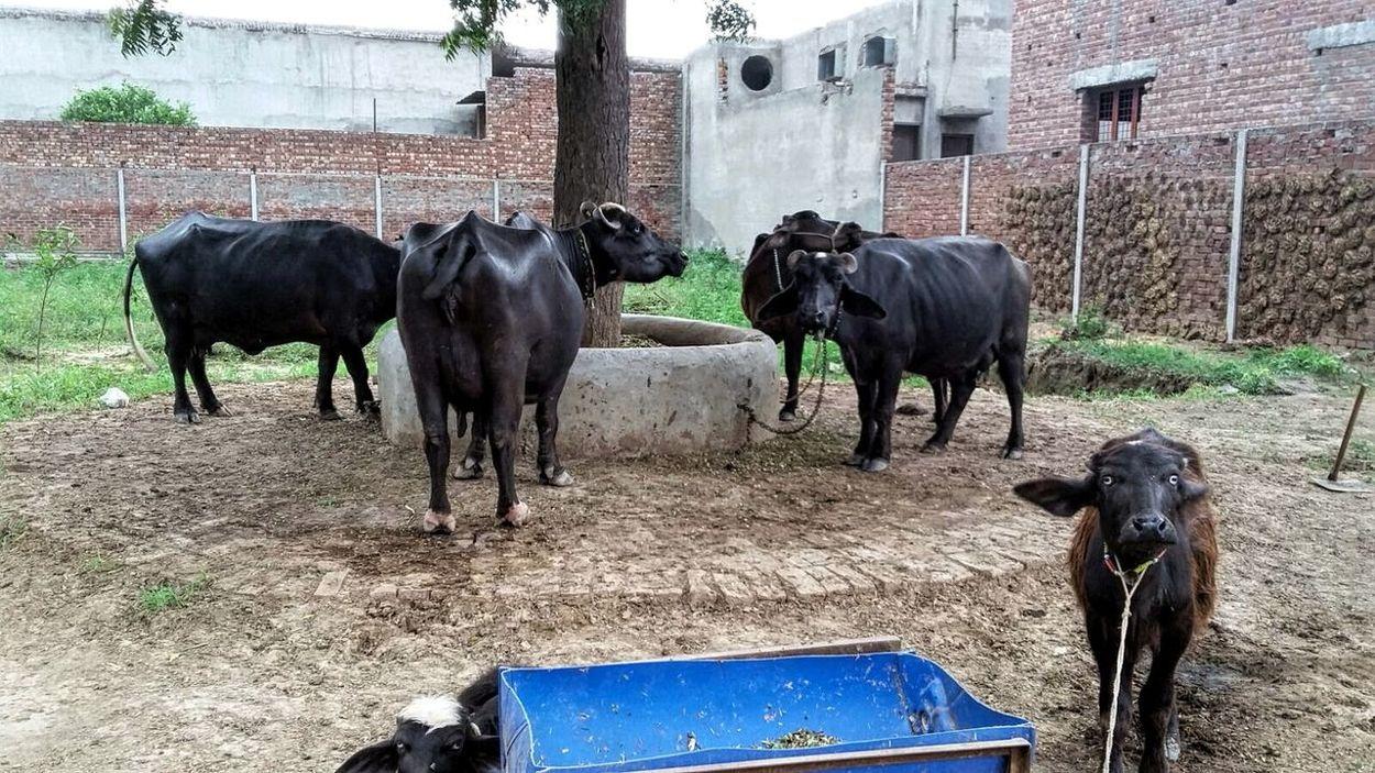 Farm Farmhouse Cows Taking Photos Check This Out Hello World EyeEm Nature Lover Open Air Pupolar Photos Nature