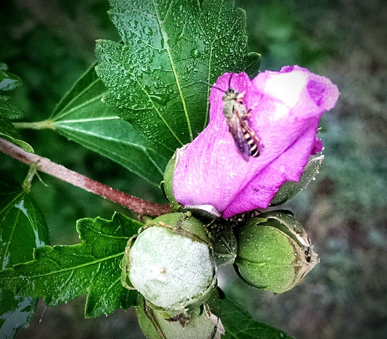 Rose Of Sharon Garden Photography Flower Collection Flowers,Plants & Garden Bee