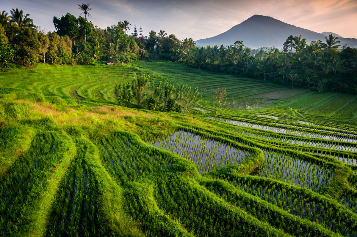 Bali Rice Fields. A colorful and dramatic rice terrace in the village of Belimbing, Bali, Indonesia. Mt. Batukaru, a dormant volcano and the second highest mountain in Bali can be seen in the background. Agriculture ASIA Bali Batukaru Belimbing Crop  Cultures Day Farm Food Gununkaresi INDONESIA Landscape Mountain Mt. Nature No People Outdoors Rice - Cereal Plant Rice Paddy Scenics Southeast Asia Terraced Field Travel Destinations Volcano