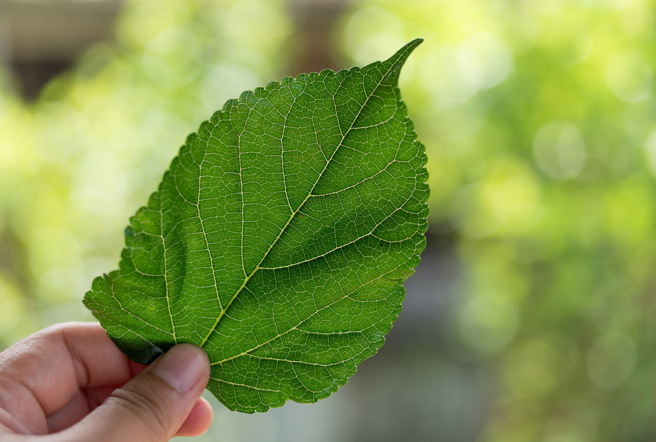 Mulberry leaves before drying. To brew as a herbal tea for diabetics. Close-up Day Focus On Foreground Food And Drink Freshness Green Color Growth Herbal Holding Human Body Part Human Hand Leaf Leaf Vein Mulberry Leaf Nature One Person Outdoors