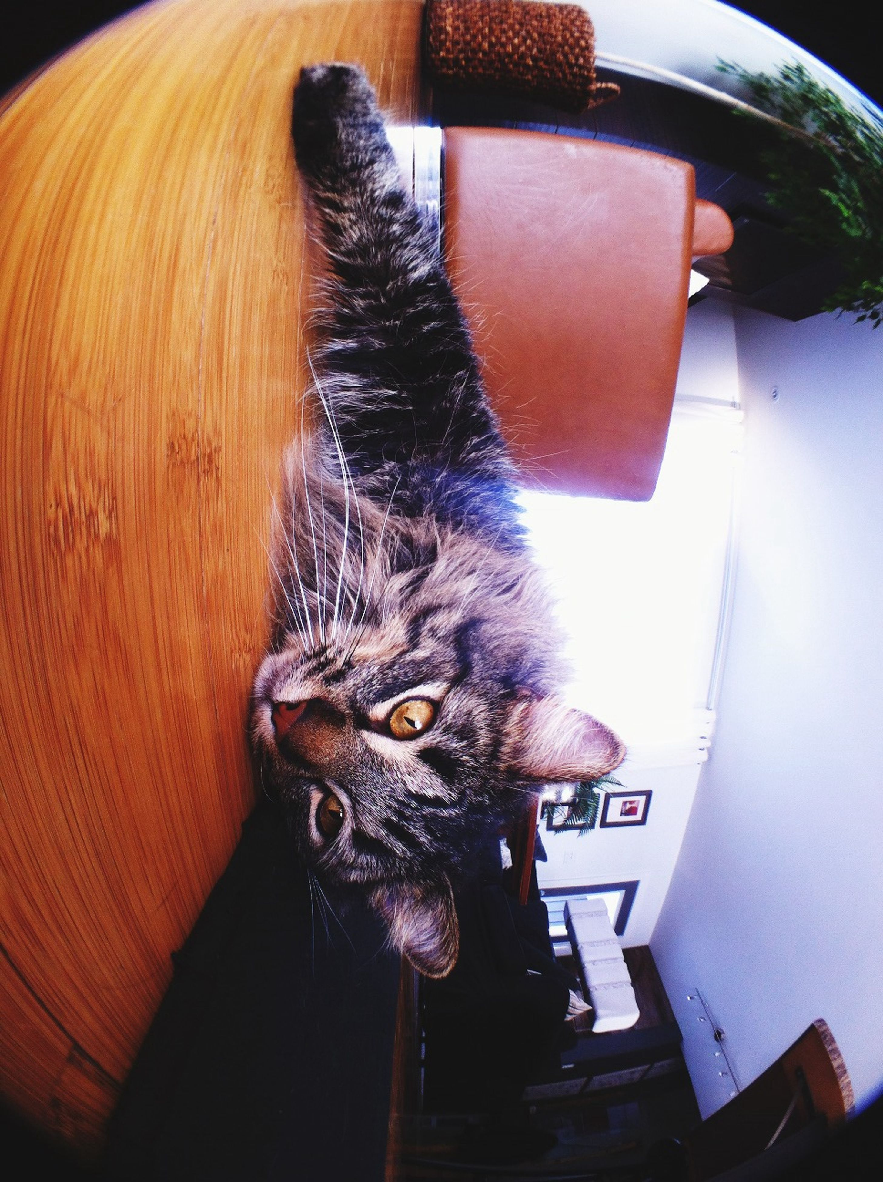 pets, domestic animals, domestic cat, cat, indoors, one animal, mammal, animal themes, feline, looking at camera, portrait, whisker, relaxation, home interior, sitting, close-up, alertness, front view, resting