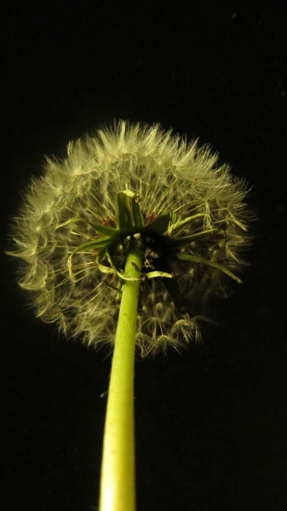 Beauty In Nature Black Background Close-up Dandelion Seed Day Flower Flower Head Fragility Freshness Growth Nature No People Outdoors Plant Seed Spiky Stem
