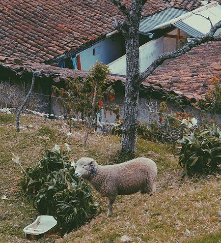 Meh. Nature Sheep Special Day Enjoying Life