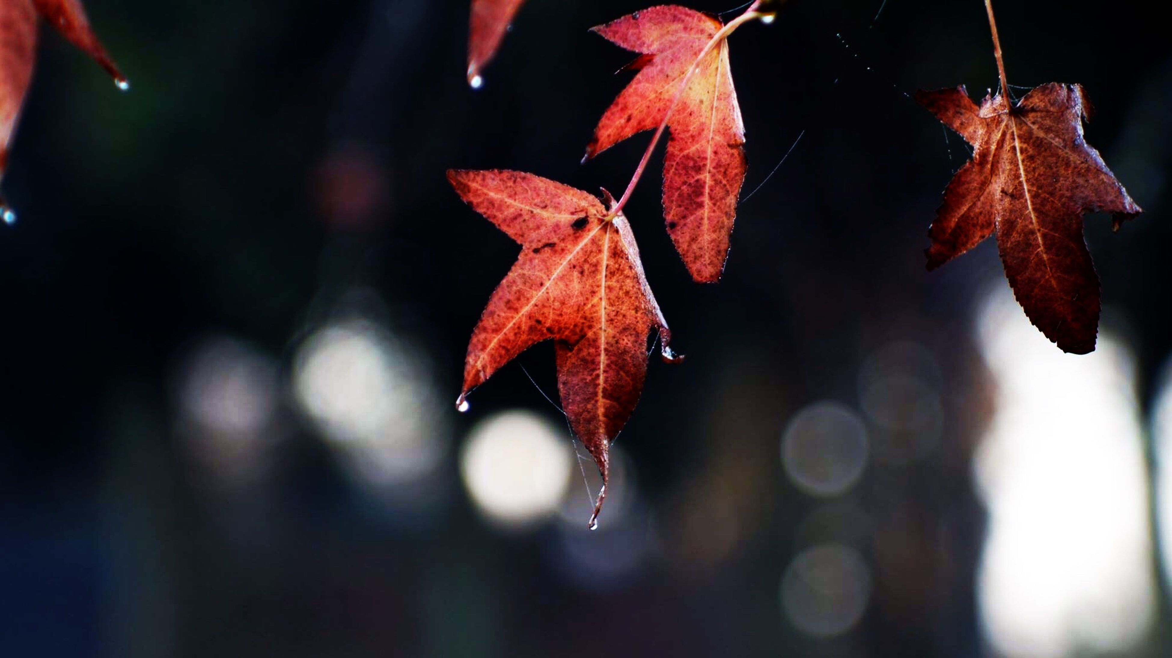 leaf, close-up, autumn, focus on foreground, change, season, nature, water, growth, drop, leaves, orange color, red, beauty in nature, wet, fragility, leaf vein, maple leaf, plant, selective focus