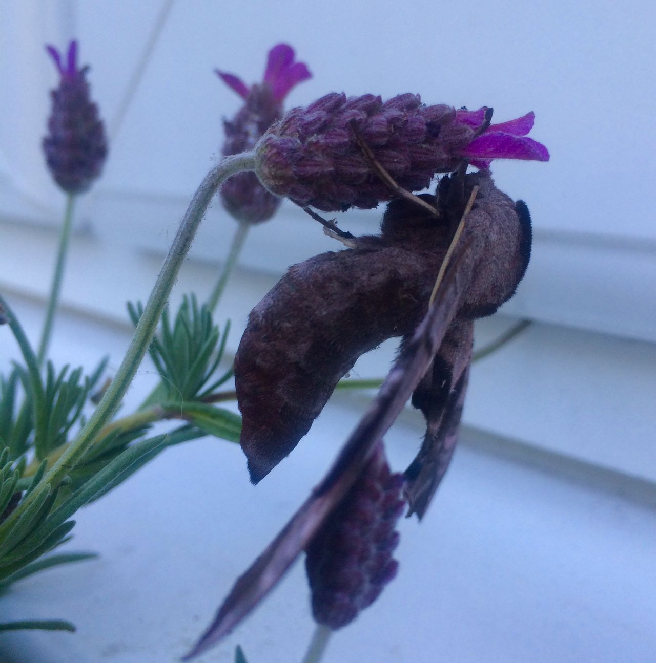 Beauty In Nature Close-up Flower Insect Lavender Moth Nature No People Outdoors Plant Purple