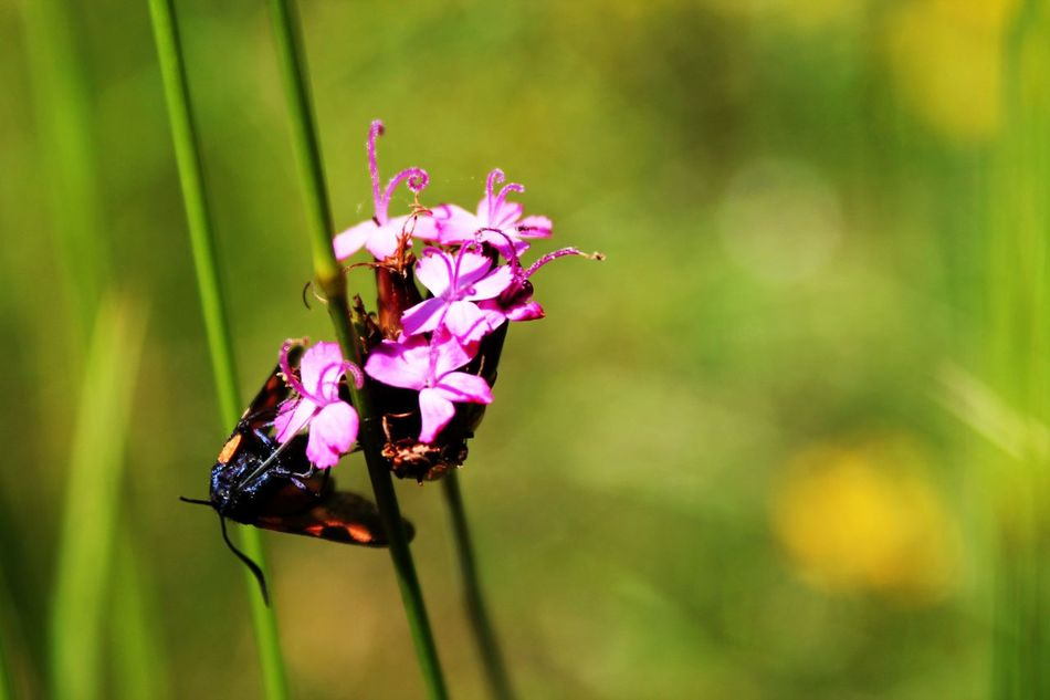 Animal Themes Beauty In Nature Blooming Bug Bug On A Flower Bug On Flower Bugs Life Bugs World Bugslife Butterfly Butterfly - Insect Close-up Day Flower Flower Head Focus On Foreground Fragility Freshness Growth Insect Nature No People Outdoors Pink Color Plant