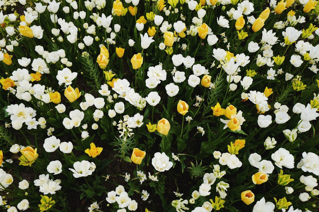 Flower Fragility Petal Freshness Beauty In Nature Growth Nature Blooming Yellow Flower Head Plant Day Daffodil Outdoors Springtime No People Green Color Flowerbed Leaf Close-up