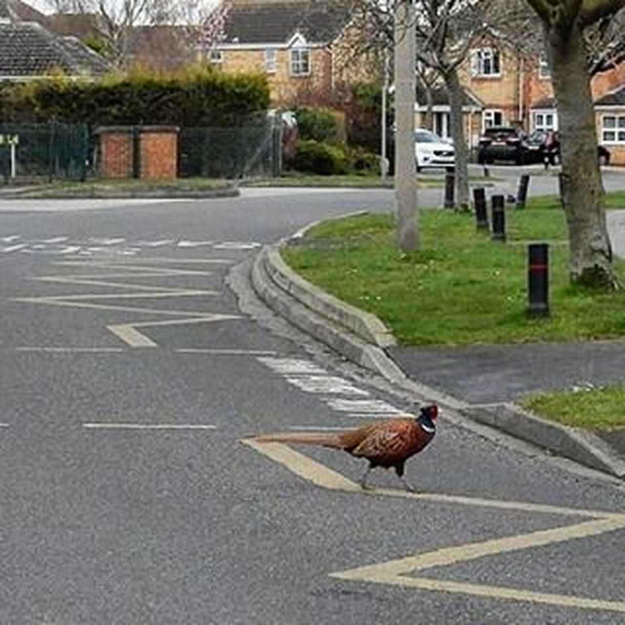 Pretty sure there should be a joke here somewhere! But that aside not what you expect to see on the urban part of your Cyclecommute home! www.facebook.com/melaniecycles Pheasant Schoolcrossing Cockpheasant Bird Sightsonabicycle Cycling Cycle Biketowork Commutebybike Cyclelikeagirl Cyclephotography Urbanphotography Animals Lincoln Lincolnshire Nikon_photography Nikons9900 Nikon