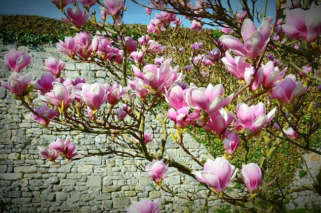 Fleur Flowers Spring Spring Is In The Air Spring Colours Spring Is Coming  Spring Flowers Senlis Seine Et Marne Rose Et Blanc Pink And White Senlis Seine-et-Marne