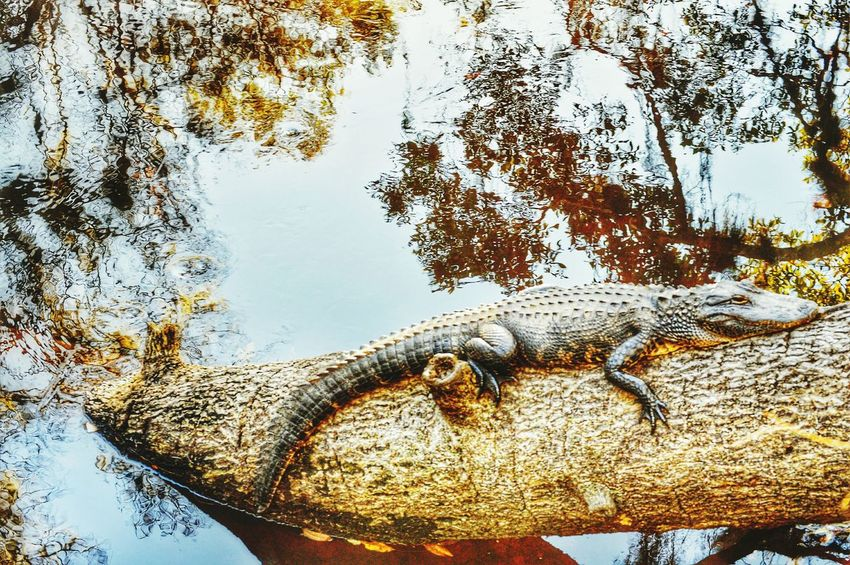 A little gator getting some sun... Gator Enjoying The Sun Forest Outdoors Hiking Nature