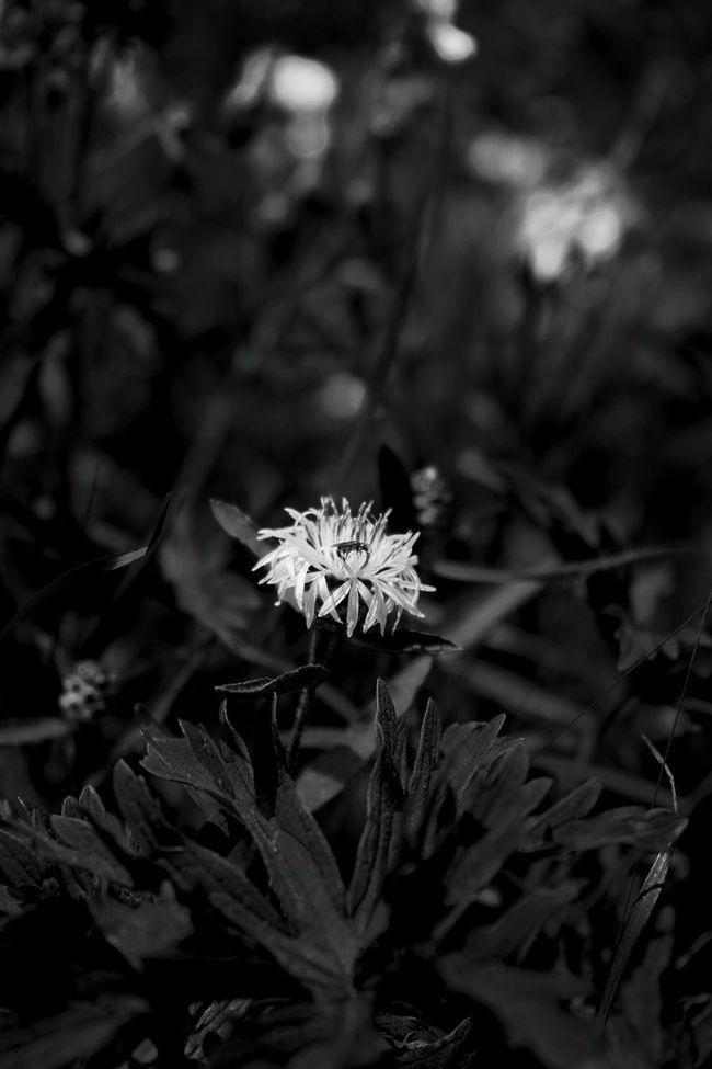 Blume Kornblume Black And White Schwarzweiß Monochrome Blaufilter Flower Blumenwiese