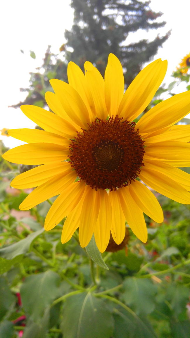 Freshness Fragility Flower Flower Head Yellow Petal Growth Beauty In Nature Sunflower Vibrant Color Close-up Plant Nature Selective Focus Botany Season  Springtime Stem In Bloom Blossom BigSkyCountry Montanaphotography Check This Out Nature