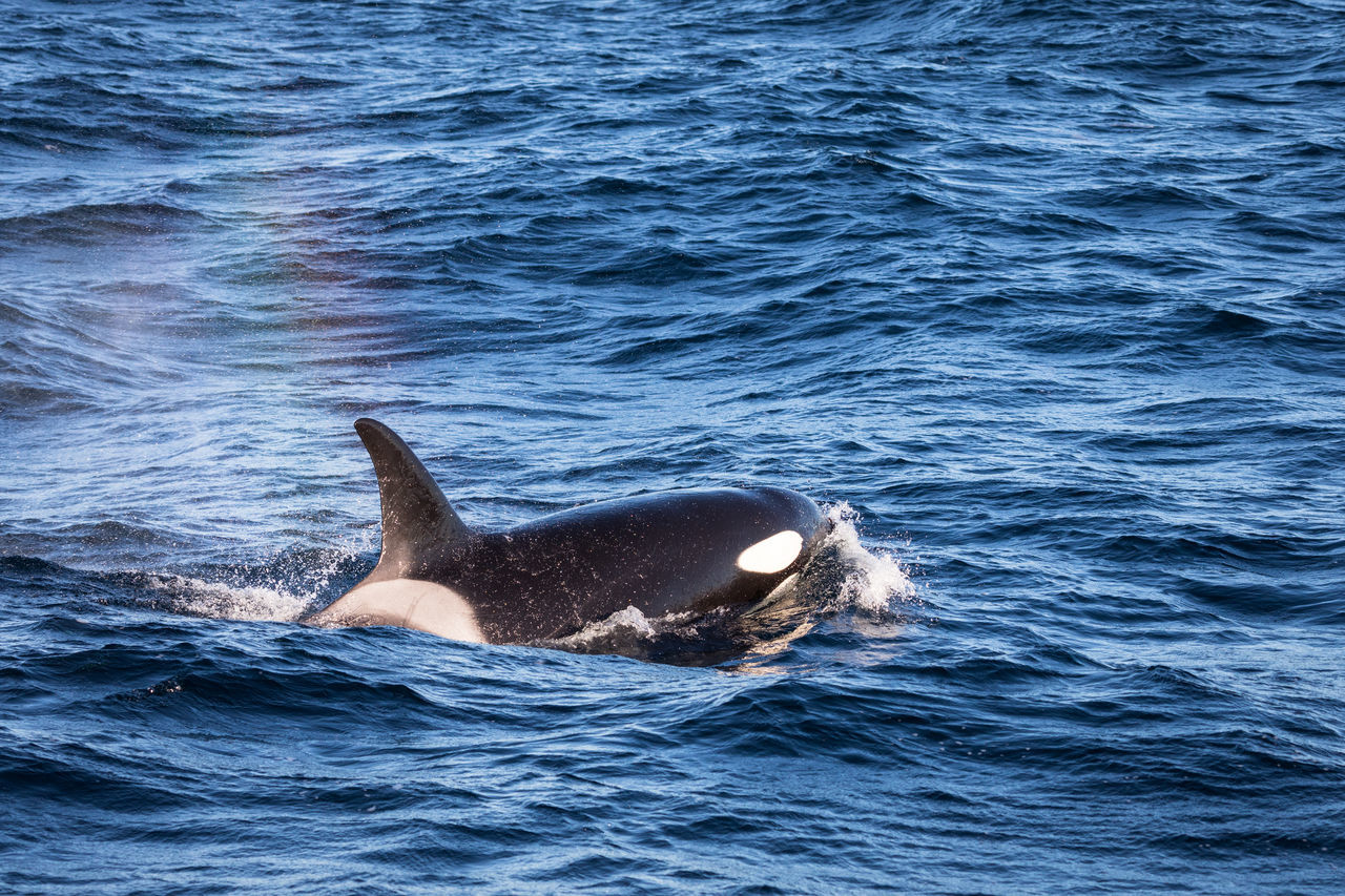 Animal Themes Animals In The Wild Aquatic Mammal Beauty In Nature Beauty In Nature Cold Temperature Day Killer Whale Lofoten And Vesteral Islands Mammal Nature Nature No People Norway One Animal Orca Outdoors Sea Swimming Vesterålen Water Waterfront Whale Whale Watching Winter