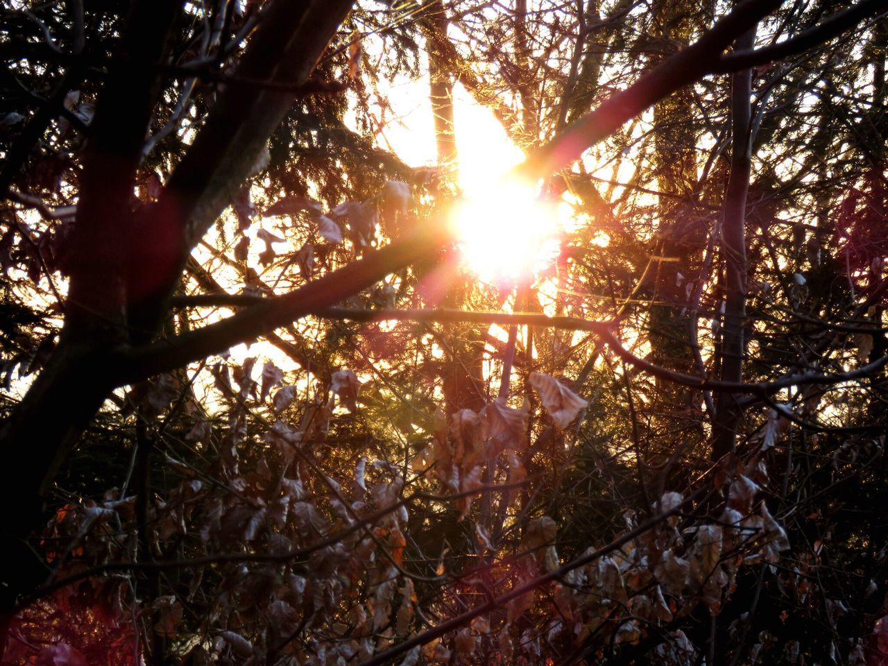 tree, nature, forest, sunbeam, sun, beauty in nature, sunlight, tranquility, tree trunk, growth, scenics, branch, tranquil scene, outdoors, sunset, no people, day, low angle view, sky