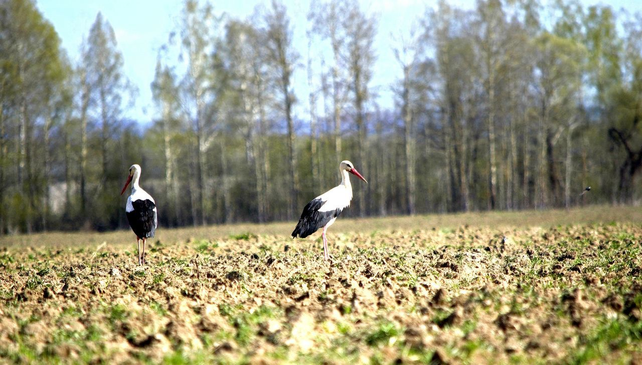 bird, animal themes, animals in the wild, nature, animal wildlife, day, tree, field, outdoors, beauty in nature, no people, grass, sky, spread wings, white stork, perching