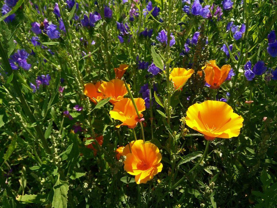 Yellow Poppies  Yellow Poppies Yellow And Purple Summer Flowers Gelb Und Lila Gelber Mohn Gelbe Mohnblumen Sommerwiese Hochsommer Wild Flowers Wildblumenwiese Wildblumen Blumenwiese