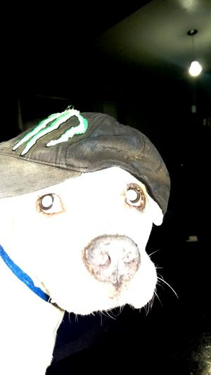He likes his Monster hat... says his ears get cold. Jaxon K9 Furry Pitbull Bff Pet American Staffordshire Terrier Short-hair