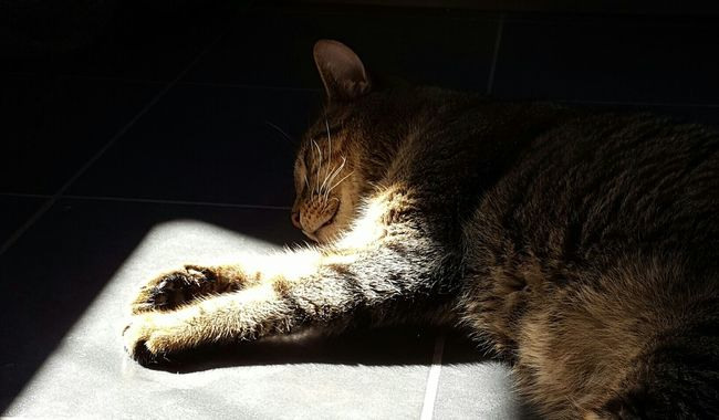 Tabby Cat Sunbathing Cat Sunshine Pets Domestic Animals Cat Indoors  Domestic Cat Relaxation Resting Feline Chilling Relaxing Relaxing At Home