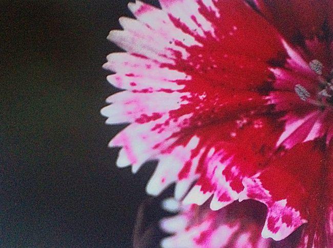 Macroflower Pink Flower Photography Halfflower