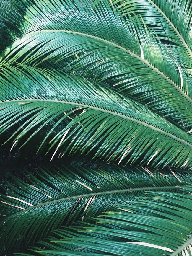 Sheffield Green Color Palm Tree Wintergarden Backgrounds Wallpaper No People Leaf Tree Beauty In Nature IPhoneography IPhone Green Green Color Minimal Background Wallpapers WallpaperForMobile Close-up