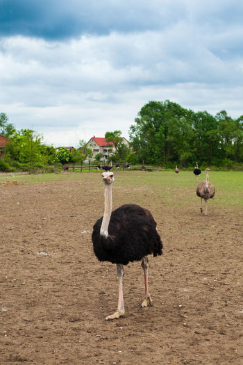 Beautiful view of summer nature with one ostrich on the foreground. Ostriches, house, trees and sky on the background Animal Themes Animal Wildlife Animals In The Wild Bird Day Farm Grass Landscape Meadow Nature No People One Animal Ostrich Ostrich Outdoors Tree Wild