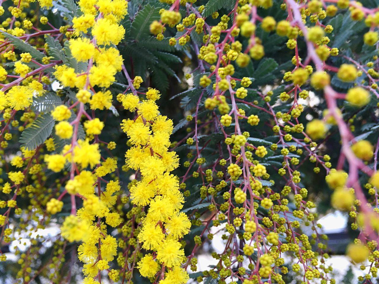 Acacia Acacia Baileyana Flowering Tree Wattle Open Edit Blooms And Buds Foliage Yellow Yellow Flower Winter Blooms