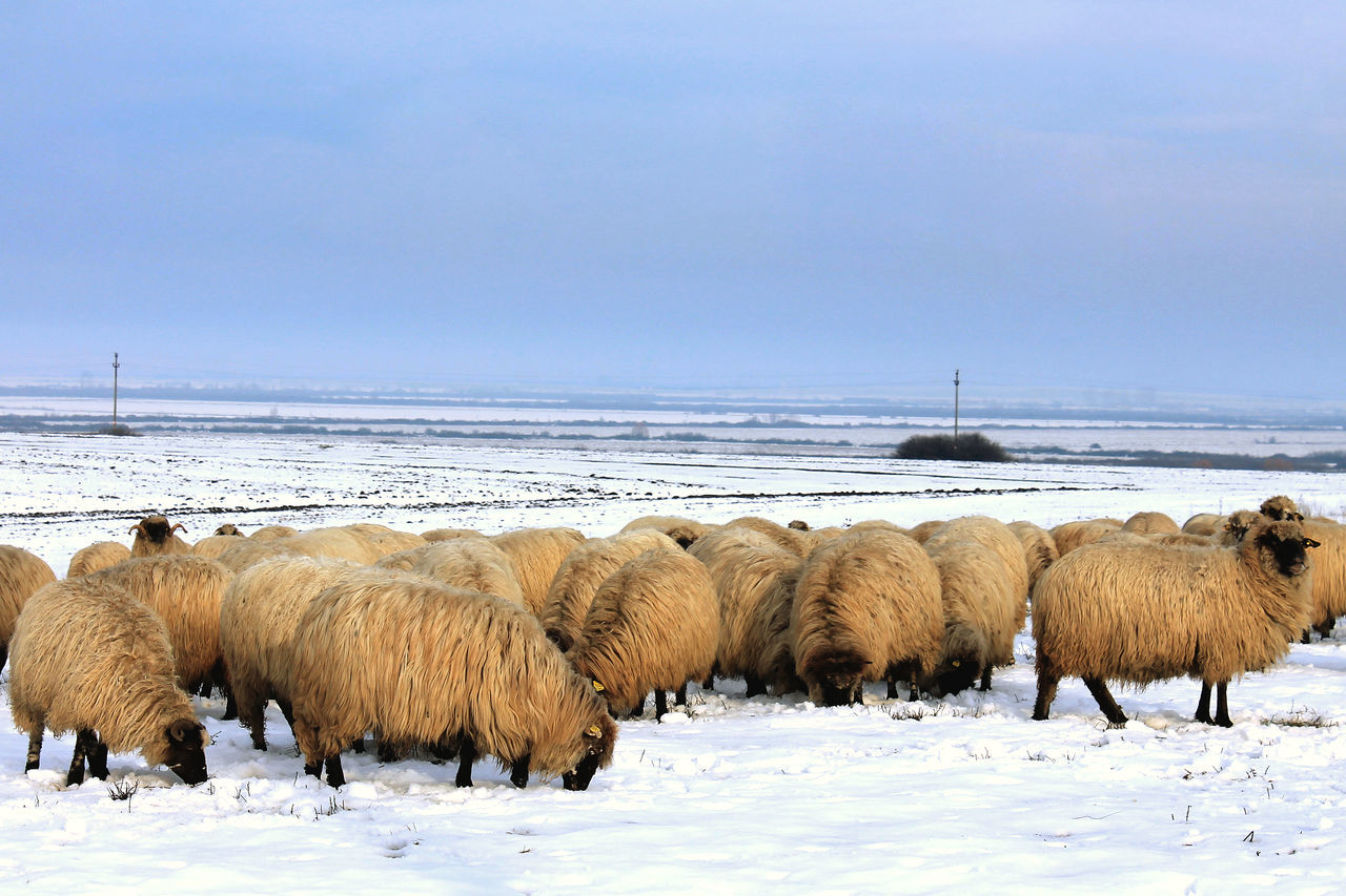Animal Themes Animals In The Wild Beauty In Nature Coat Cold Temperature Domestic Animals Farm Animals Field Landscape Large Group Of Animals Livestock Mammal Medium Group Of Animals Nature Race Romania Season  Sheep Sheeps Sky Snow Water Weather Wildlife Winter
