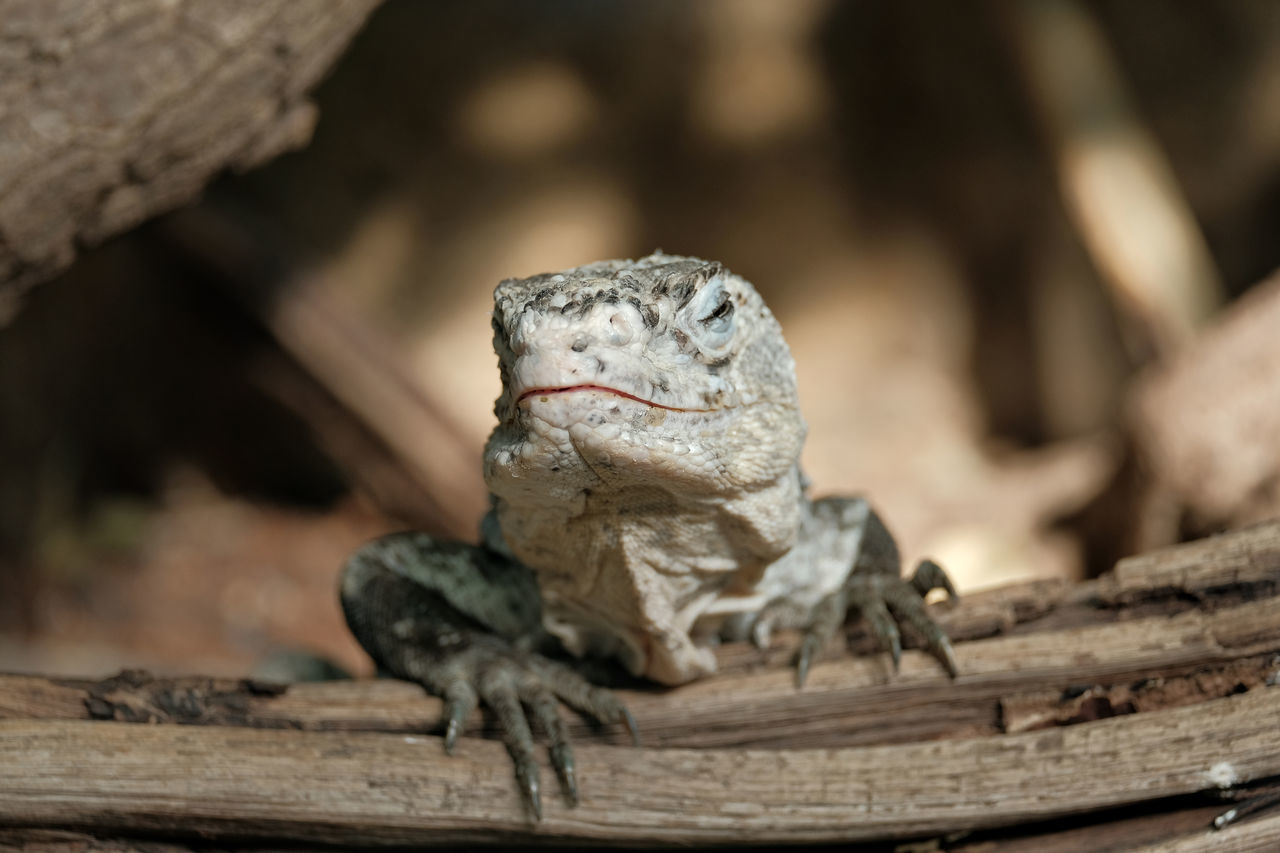 reptile, animals in the wild, animal themes, one animal, animal wildlife, wood - material, no people, day, nature, outdoors, close-up, iguana
