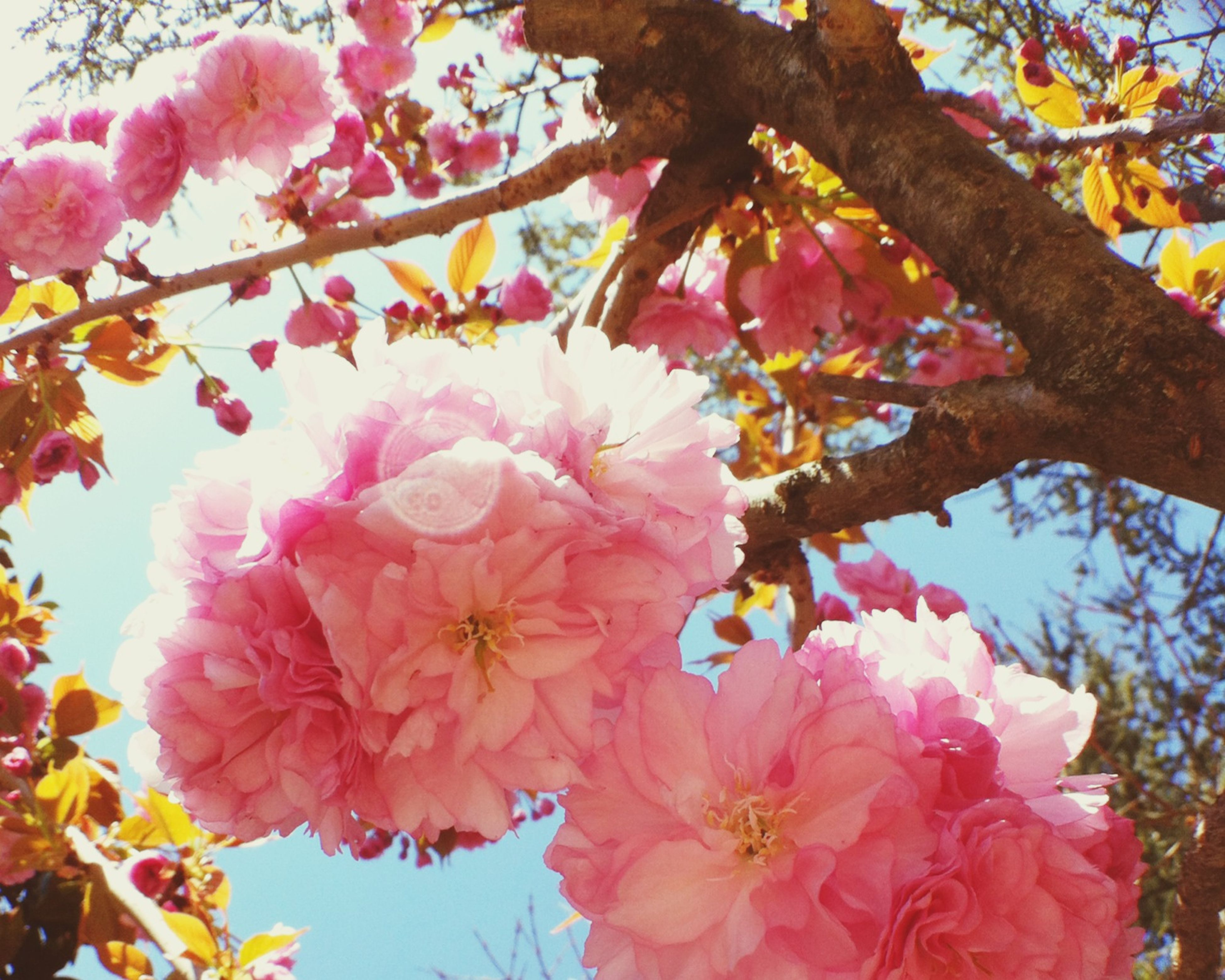 flower, freshness, branch, low angle view, tree, fragility, growth, beauty in nature, petal, blossom, nature, pink color, blooming, cherry blossom, in bloom, springtime, cherry tree, sky, flower head, botany