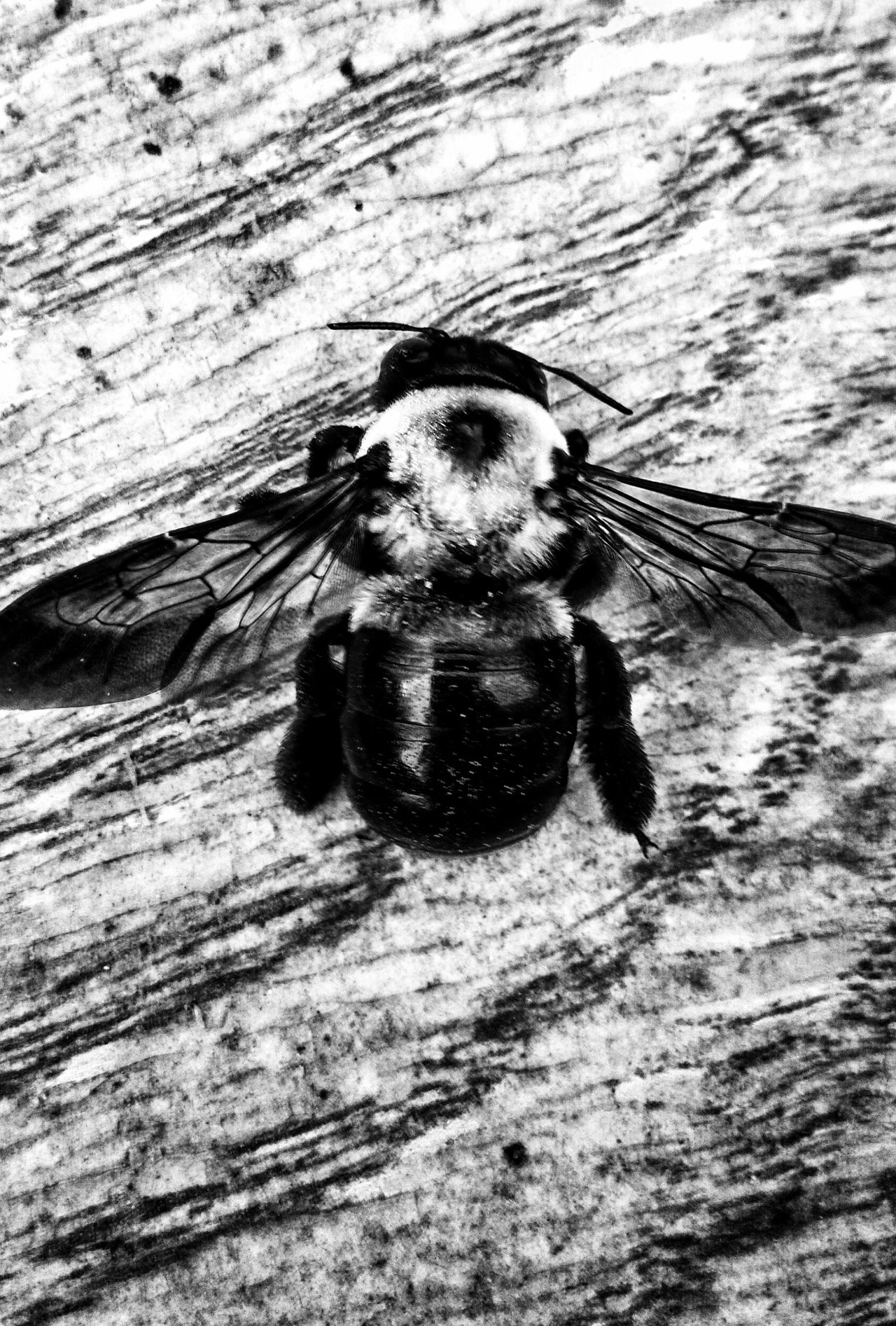 EyeEm Nature Lover Insect Bee Black And White