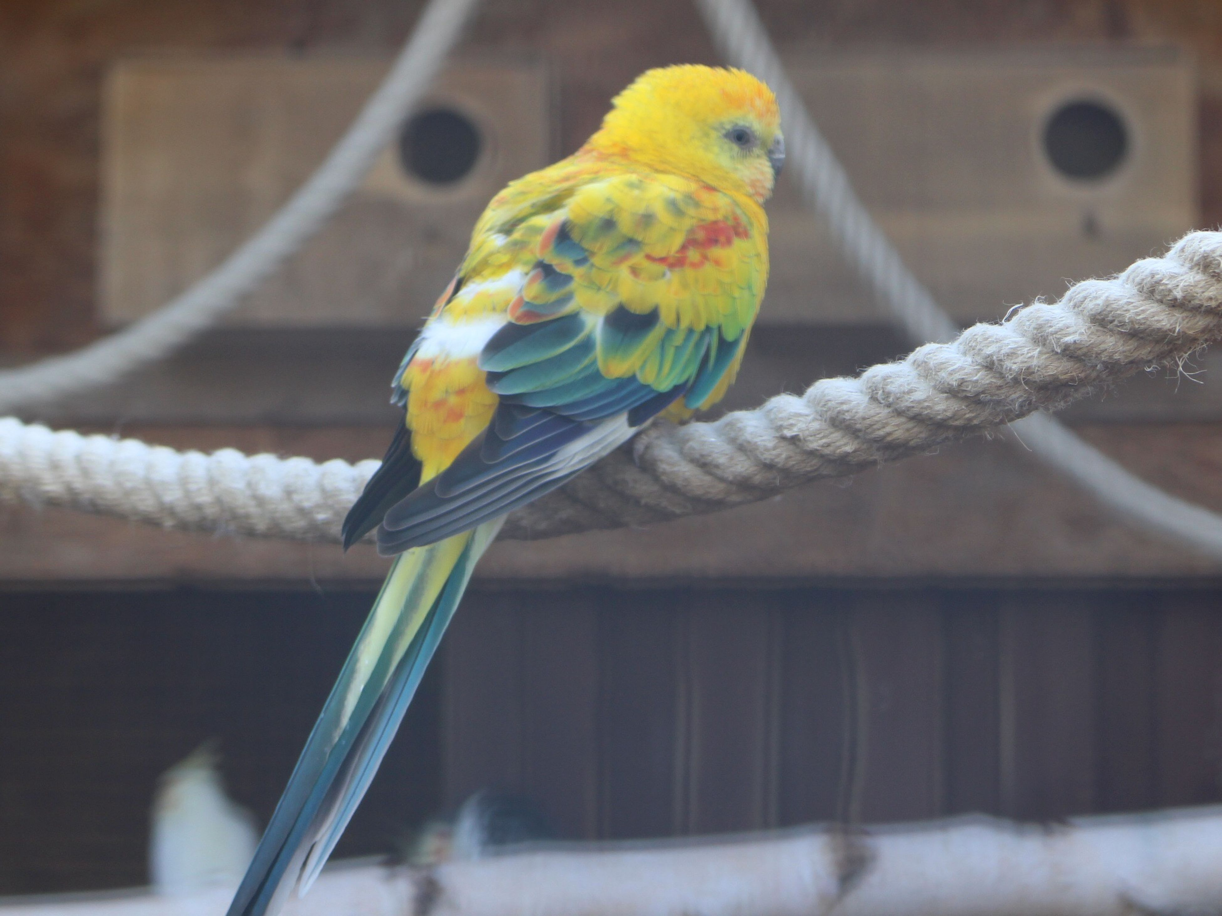 animal themes, bird, one animal, perching, parrot, animals in the wild, wildlife, focus on foreground, beak, multi colored, close-up, full length, cage, branch, birdcage, side view, railing, zoology, selective focus, nature