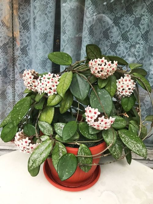 Leaf Green Color Flower Plant Growth No People Indoors  Fragility High Angle View Freshness Pink Color Day Close-up Flower Head Nature Beauty In Nature Periwinkle Hoya Hoya Carnosa Wax Flower