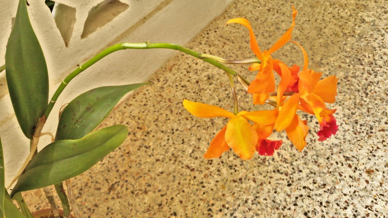 Plant Orange Color Orchid Blossoms Growth St.Croix, US Virgin Islands
