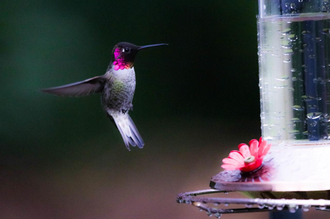 Animal Wildlife Beauty In Nature Bird Bird Feeder Close-up Hummingbird Nature Spread Wings