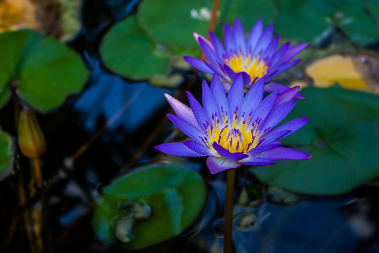 High Angle View Of Purple Water Lilies Growing In Lake