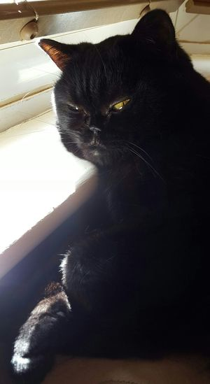 Chilling Chilling In The Sun Domestic Cat Pets Cat Feline Black Color Close-up Whisker Black Cat British Shorthair Black Cat Photography Copper Eyes Resting Relaxation Relaxing Relaxed Chill Out Chill