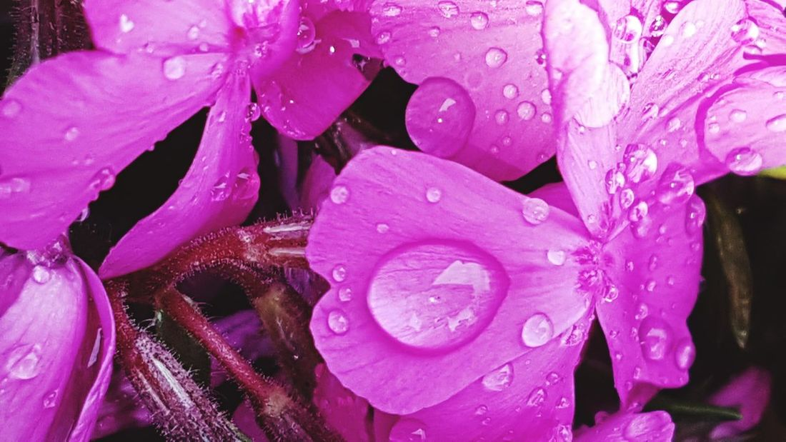 Kind Of Phlox Drop Water Pink Color Wet Flower Nature Beauty In Nature No People Purple Freshness Fragility Plant Close-up Flower Head Growth Day Outdoors After The Rain Springtime Freshness