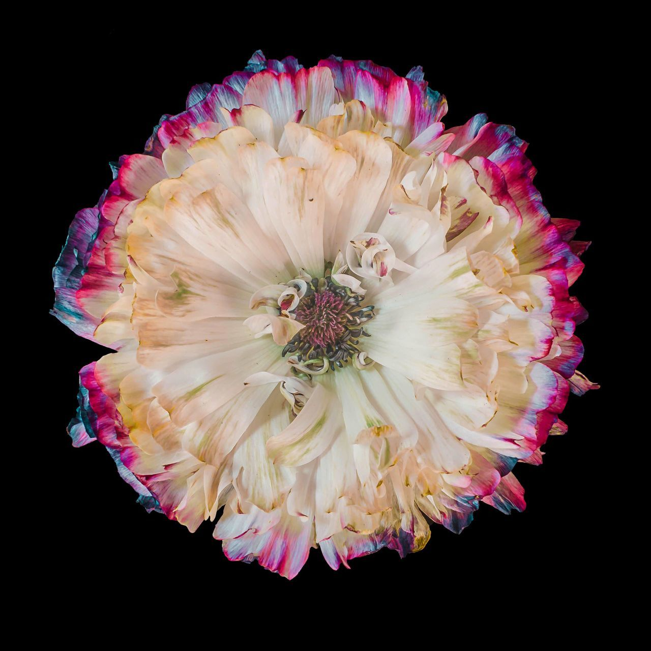 Petals Flower Black Background Petals Flower Head Fragility Studio Shot Beauty In Nature Freshness Growth Stamen Peony  Close-up Macro Beauty Macro Photography Flower Collection Flowerporn Flowers, Nature And Beauty Flowerlovers Flower Power Northamptonshire The Great Outdoors - 2017 EyeEm Awards Blooming Peony Flower