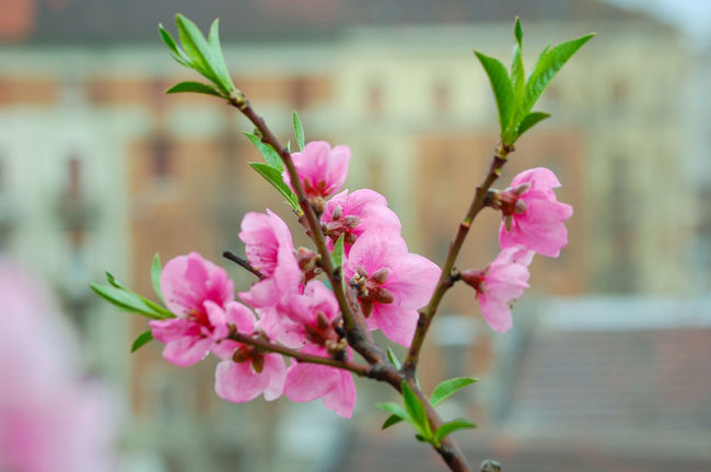 Peach Flowers Peach Tree Flower Pink Color Plant Nature Beauty In Nature Leaf Petal Focus On Foreground Freshness Fragility Outdoors Close Up In My Balcony