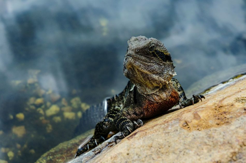Close-up Animal Wildlife Reptile EyeEm Nature Lover Nikon D5100  Lizard Water Rock