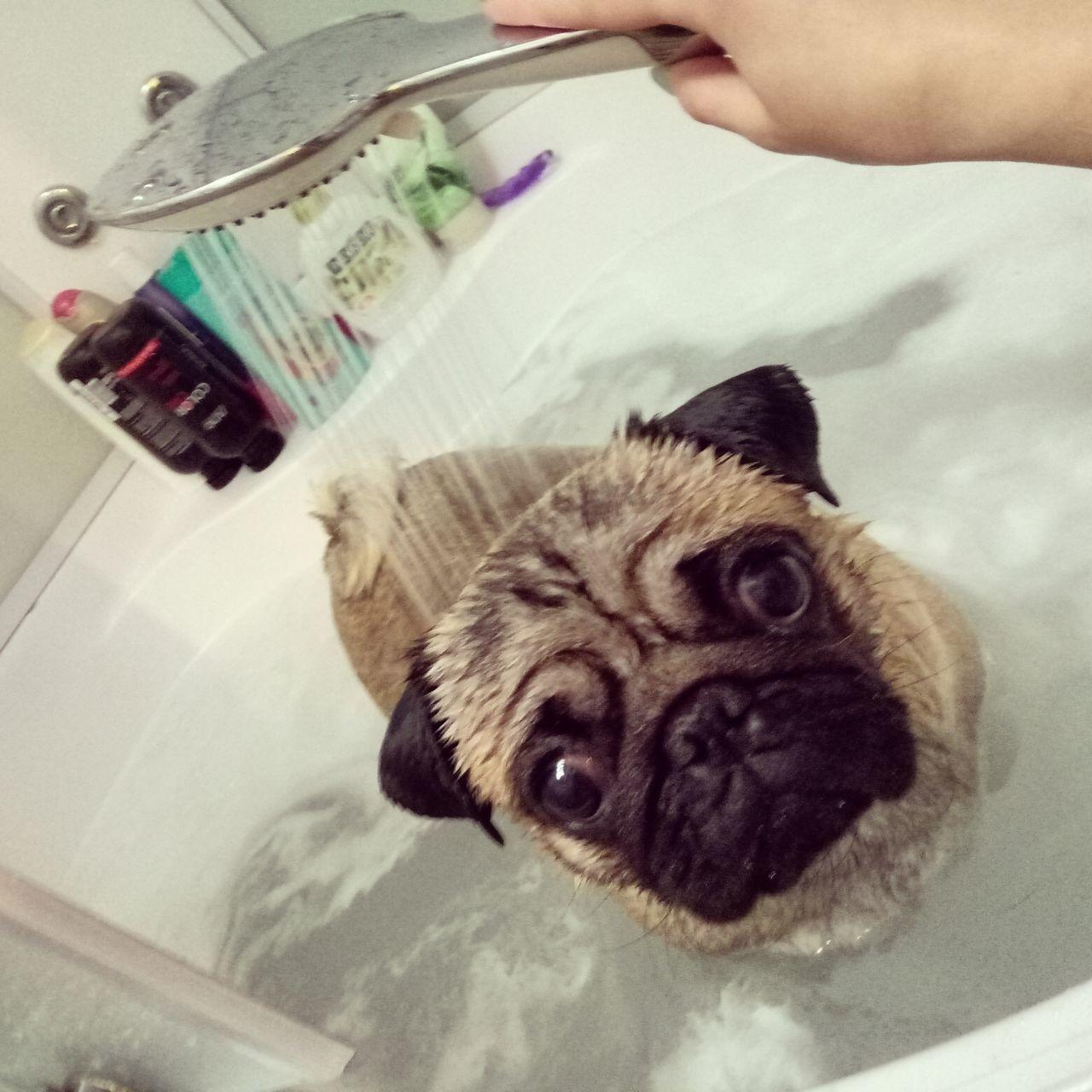 Bath time! Pets Domestic Animals One Animal Dog Bathtub Hygiene Taking A Bath Pug Pug Life  Pug Love Puglife Pug Life ❤ Puglover Pug Time Pugstagram