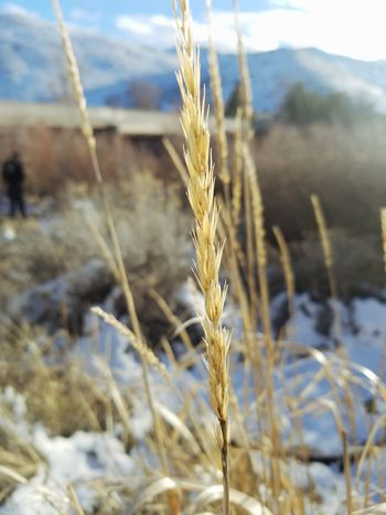 Cereal Plant Crop  Growth Wheat Plant Agriculture Nature Close-up Focus On Foreground Gold Colored Rural Scene Food Staple No People Wholegrain Outdoors Day City Beauty In Ordinary Things Reno, NV EyeEmNewHere City Life The Simple Things ExpressYourself Random Beauty In Nature