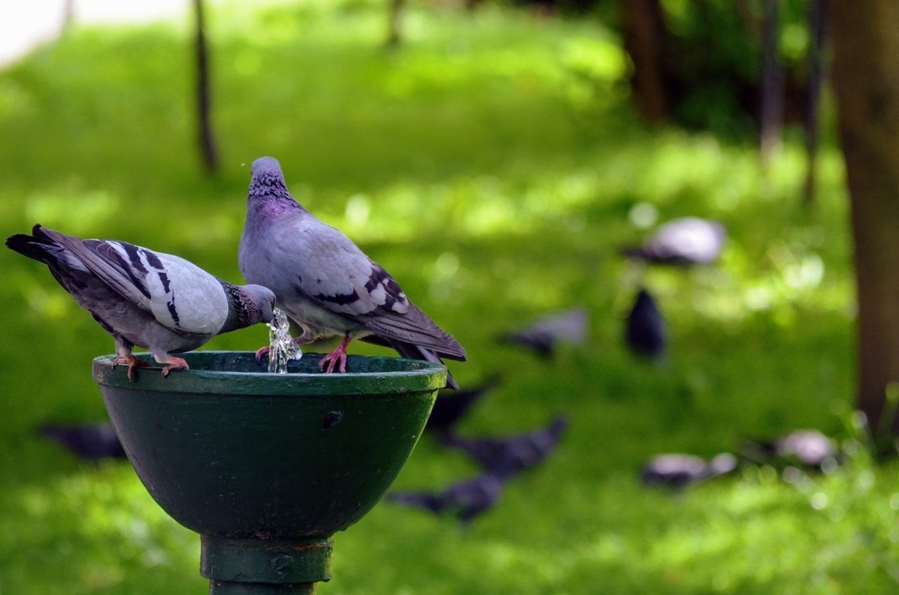 Pigeons taking turns at a water fountain Animal Themes Animal Wildlife Animals In The Wild Beauty In Nature Bird Close-up Day Focus On Foreground Grass Green Color Nature No People One Animal Outdoors Perching