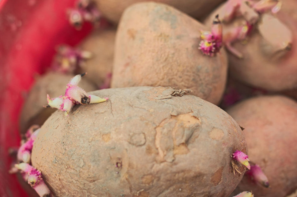 Day Close-up Potato Plant Germ Agriculture Planting Farm Countryside To Farm Farmer Growth Food