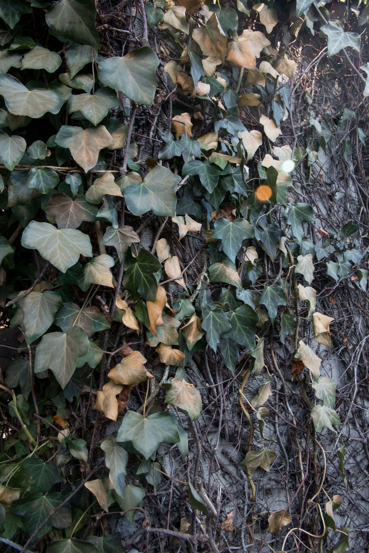 Autumn Beauty In Nature Close-up Day Fragility Growth Ivy Leaf Leaves Nature No People Outdoors Plant