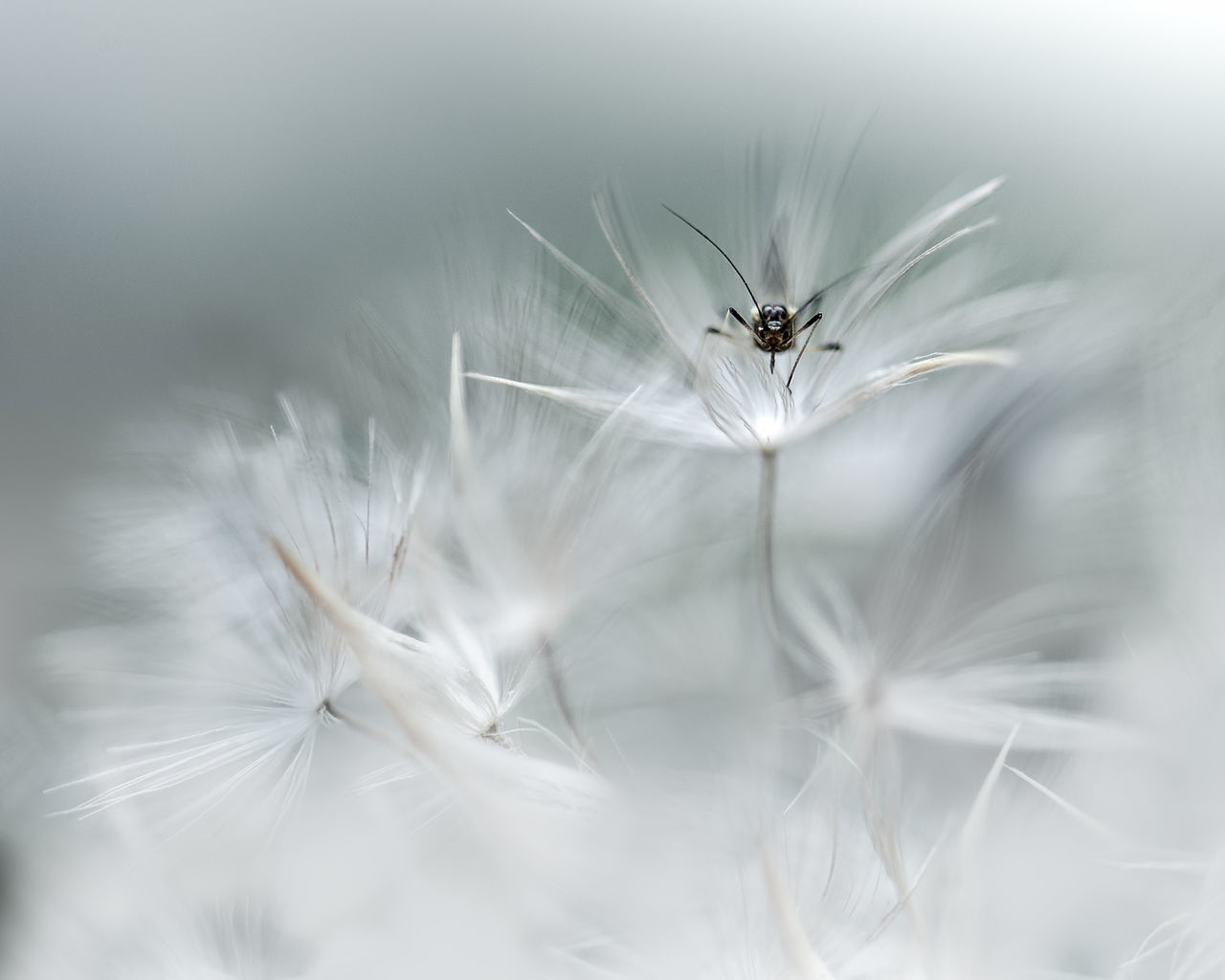 Beauty In Nature Close-up Dandelion Flower Head Mosquito Nature Outdoors Small Tiny