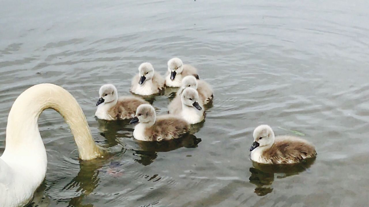 Lake Water Young Bird Bird Swan Animal Themes Animals In The Wild Young Animal Cygnet Swimming High Angle View Togetherness Animal Family Animal Wildlife Nature Water Bird Day No People Outdoors Swans Schwan  Schwäne Swantastic Swans ❤